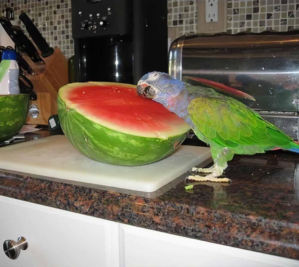 Попугай охлаждается на арбузе, в жару