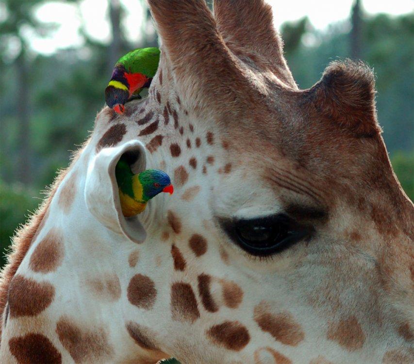 попугаи и жираф