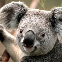 small_KoalaSmall.jpg